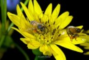 Honey Bees - Photography by Larry Eicher