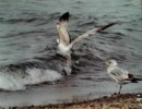 Surfer Gull - Photography by Marcheta Gibson